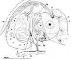 Cheliplanilla caudata