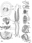 Nematorhynchus parvoacumine