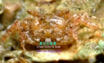 Chaenostoma lisae
