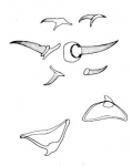 Placorhynchus dimorphis