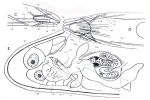 Placorhynchus echinulatus