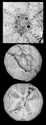 Palhemiaster natalyae (holotype)