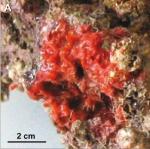 Eurypon gracile, holotype in situ.