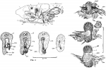 Proschizorhynchus pectinatus