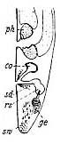 Adenorhynchus balticus