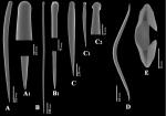 Clathria (Clathria) hjorti spicules