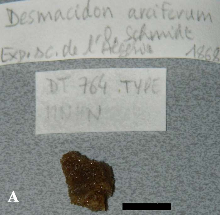 Desmacidon arciferum, fragment of holotype