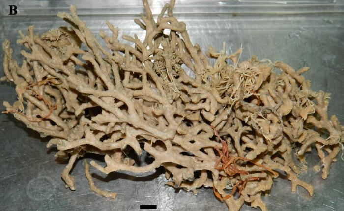 Clathria (Clathria) coralloides ZMA Por. 09944