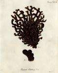 Spongia clathrus Esper, 1794