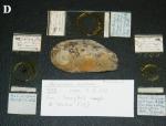 Microciona armata holotype