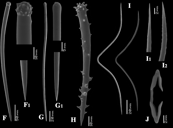 Microciona armata spicules