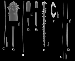 Clathria (Microciona) ascensionis spicules