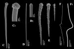 Clathria (Microciona) aurea spicules