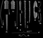 Microciona strepsitoxa spicules