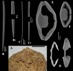 Clathria (Microciona) bicleistochelifera habit and spicules