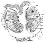 Astrotorhynchus bifidus