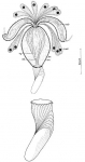 Petaliella spiracauda