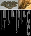 Clathria (Axosuberites) papillata holotype