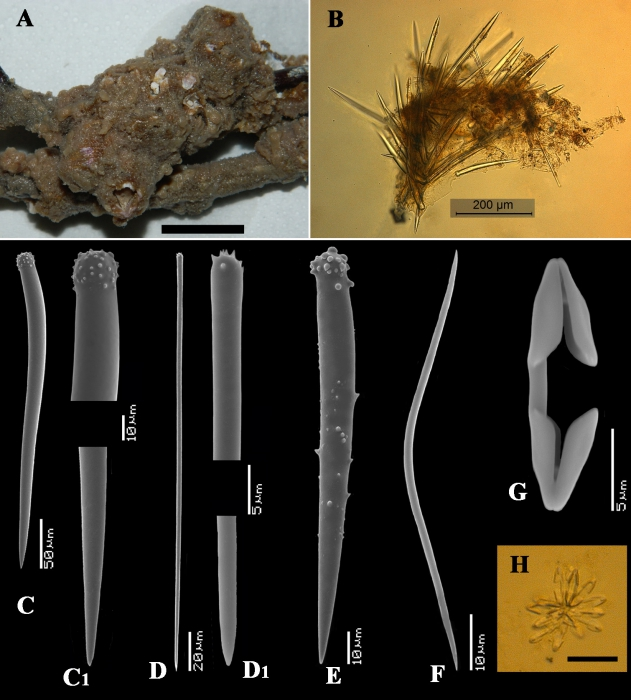 Clathria (Cornulotrocha) cheliglomerata holotype