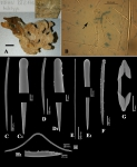 Clathria morisca type material