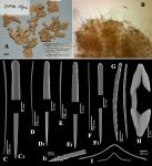 Antho (Antho) atlantidae ZMUC holotype
