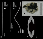 Artemisina melanoides holotype