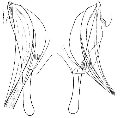 Ptychopera spinifera