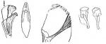Ptychopera westbladi