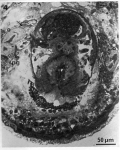 Cirrifera aculeata