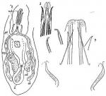 Coelogynopora biarmata
