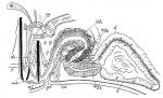 Coelogynopora hangoensis