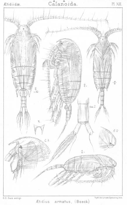 Aetideus armatus from Sars, G.O. 1901