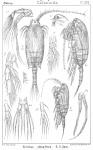 Chiridius obtusifrons from Sars, G.O. 1902