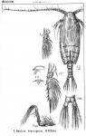 Gaidius brevispinus from Sars, G.O. 1900