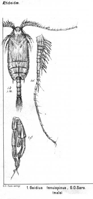 Gaidius tenuispinus from Sars, G.O. 1900