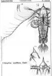 Haloptilus acutifrons from Sars, G.O. 1902