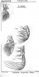 Haloptilus longicornis from Sars, G.O. 1902