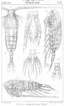 Calanus helgolandicus from Sars, G.O. 1901