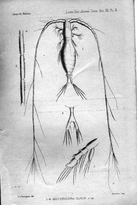 Mecynocera clausi from Thompson 1888