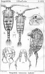 Parapontella brevicornis from Sars, G.O. 1903