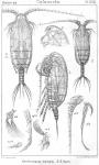 Xanthocalanus borealis from Sars, G.O. 1902
