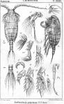 Xanthocalanus propinquus from Sars, G.O. 1902