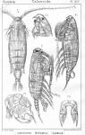 Labidocera wollastoni from Sars, G.O. 1902