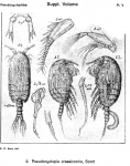 Pseudocyclopia crassicornis from Sars, G.O. 1919