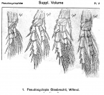 Pseudocyclopia giesbrechti from Sars, G.O. 1919