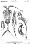 Spinocalanus abyssalis from Sars, G.O. 1919