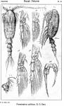 Parastephos pallidus from Sars, G.O. 1919