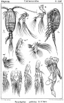 Parastephos pallidus from Sars, G.O. 1902