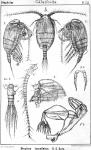 Stephos lamellatus from Sars, G.O. 1902