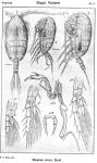 Stephos minor from Sars, G.O. 1919